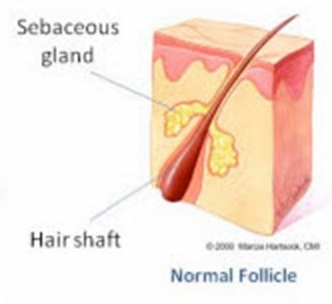 Normal Follicle